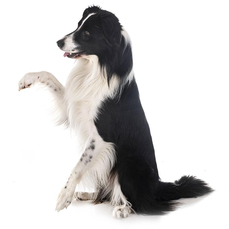brevetto cane buon cittadino